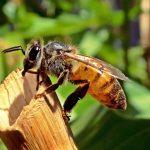 honeybee-525224_960_720